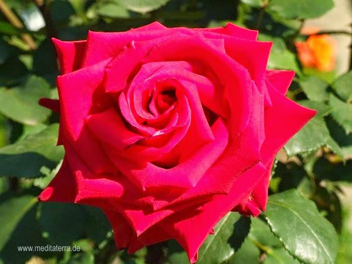 Rose Bilder Kostenlos