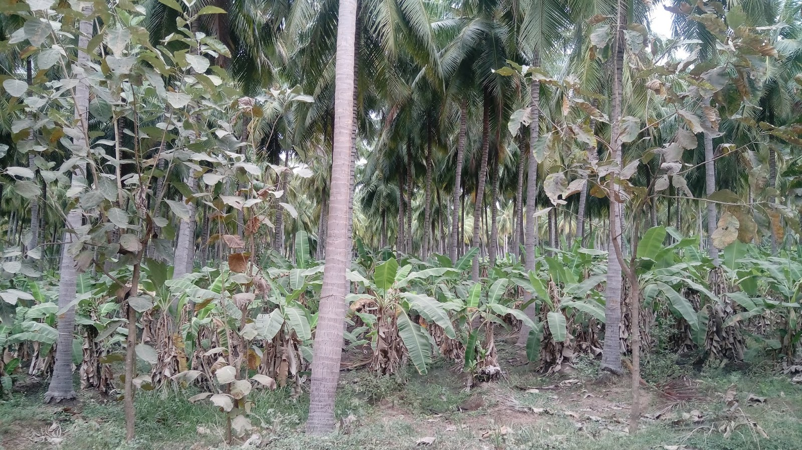 Coconut farms for sale in near sholavandan, madurai district