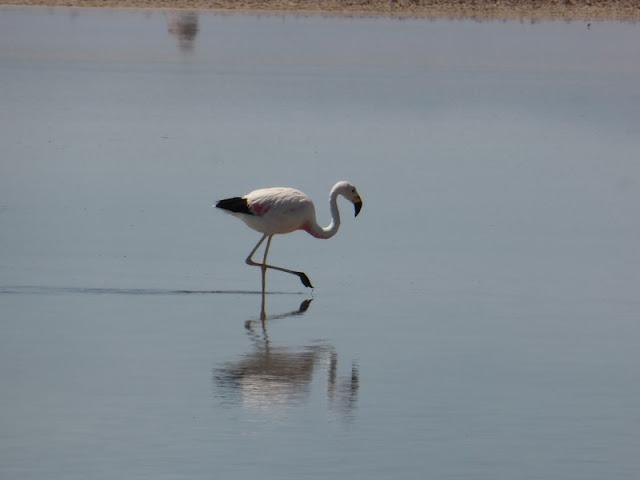 Parina Grande (Phoenicoparrus andinus) en las lagunas de Ataca
