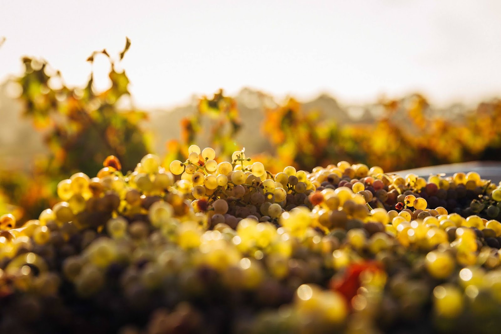 Gdzie warto spróbować saksońskich win w Dreźnie