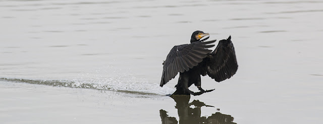 Cormorant coming in to land