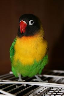 Fischer's Lovebird(Agapornis fischeri)