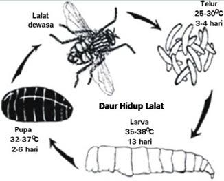 Daur Hidup Lalat
