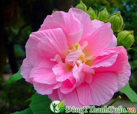 Cách chữa đau lưng nhanh khỏi từ hoa phù dung