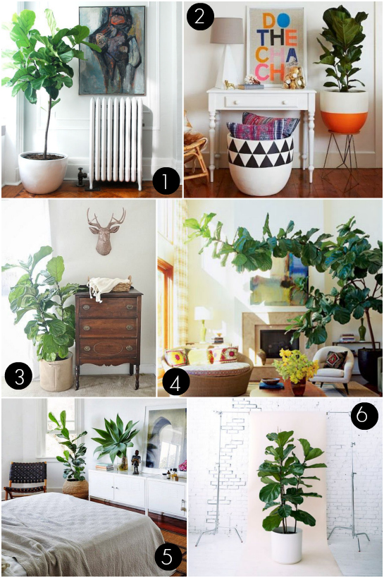 Where We Found Our Fiddle Leaf Fig Tree | 17 Apart