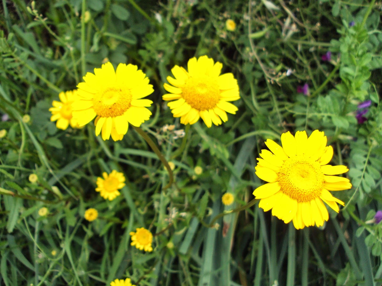 Margaritas De Colores En La Hierba 30995: Entre Jaras Y Encinas: Planta De Flor De Color AMARILLO