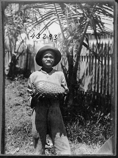 Woman or girl standing outdoors, fence behind. She is holding a fruit specimen. Annona muricata. ANONACEAE. 1922. Guyana, South America