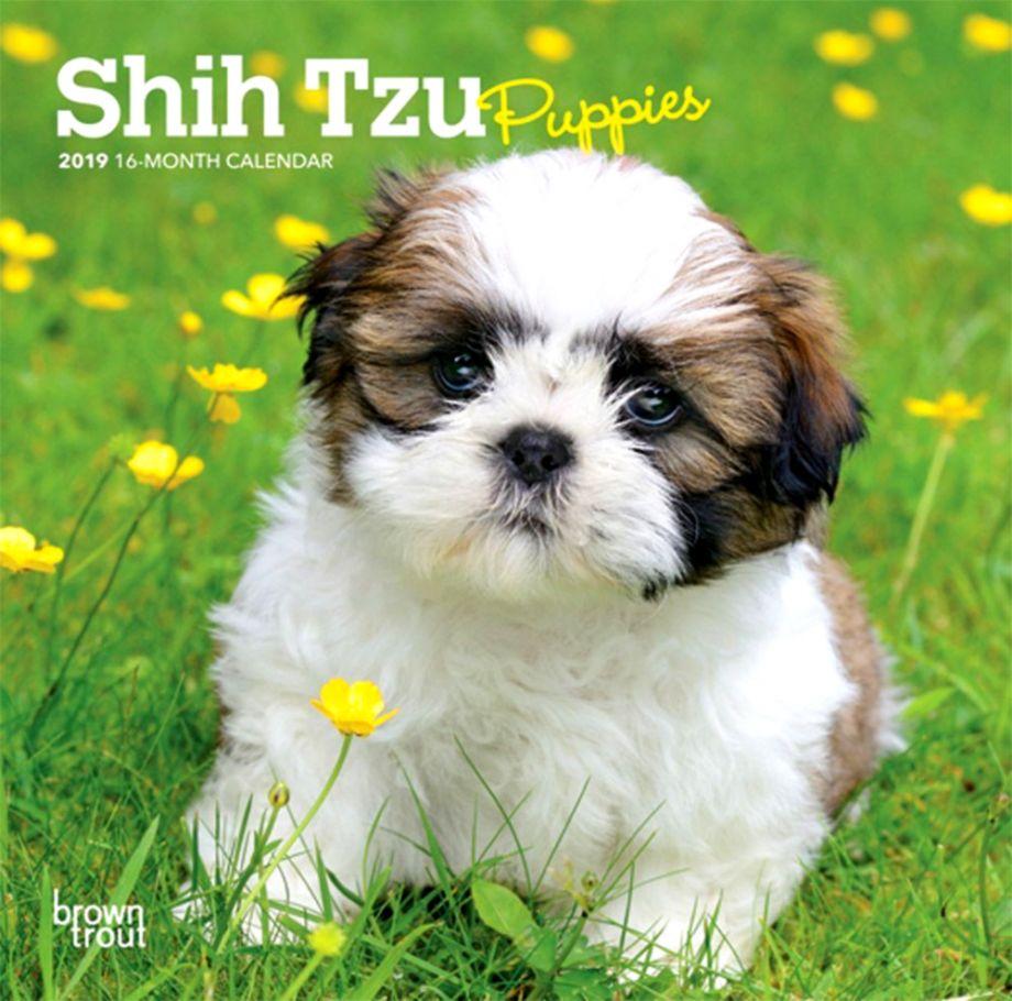 Shih Tzu Puppies Carik Wallpapers