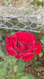 hoa hồng cổ hải phòng dạng leo