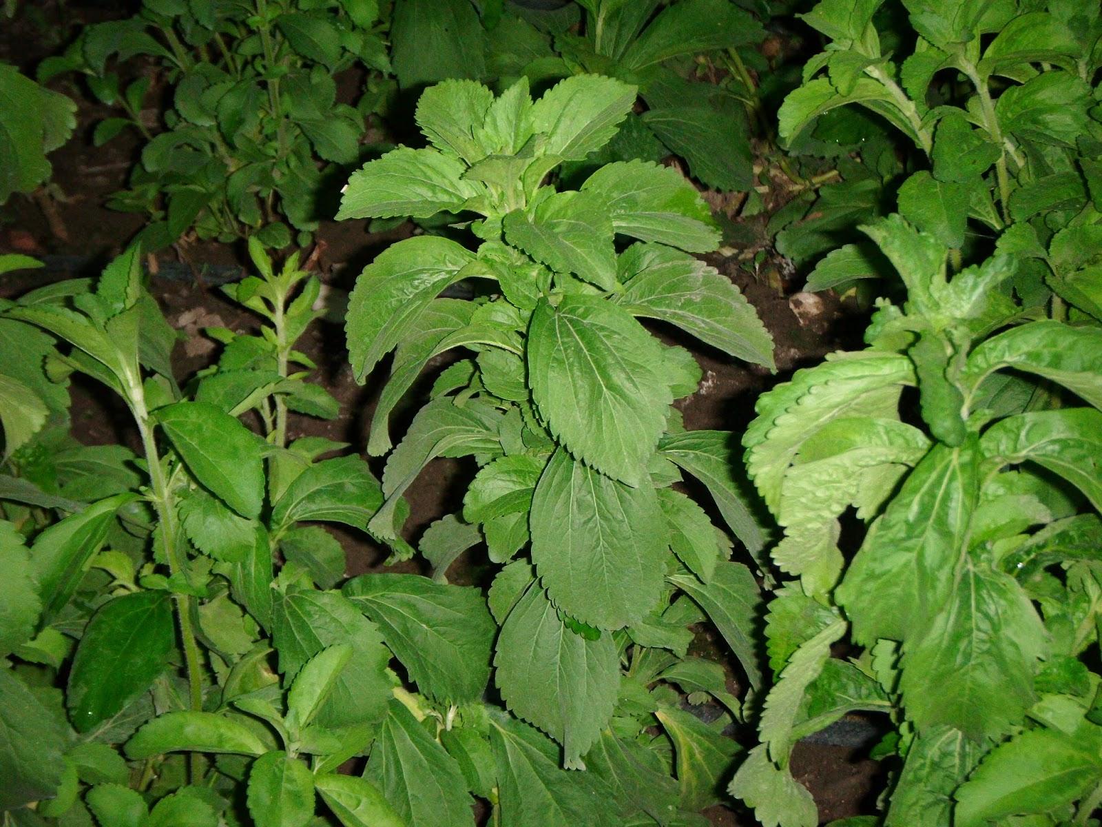 Stevia Bitkisi Nasıl Kullanılır