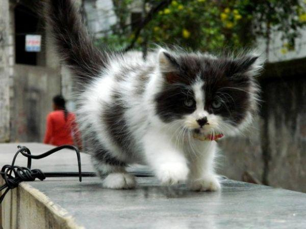 Tập đi bộ cho mèo