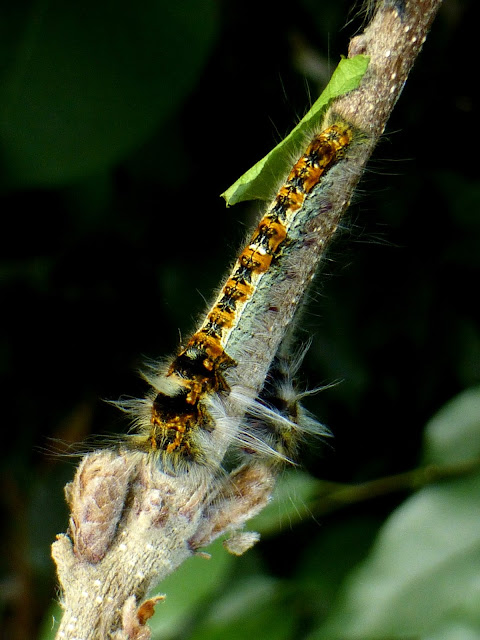 Prorifrons tremula caterpillar