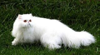 Adult Persian Cat 32