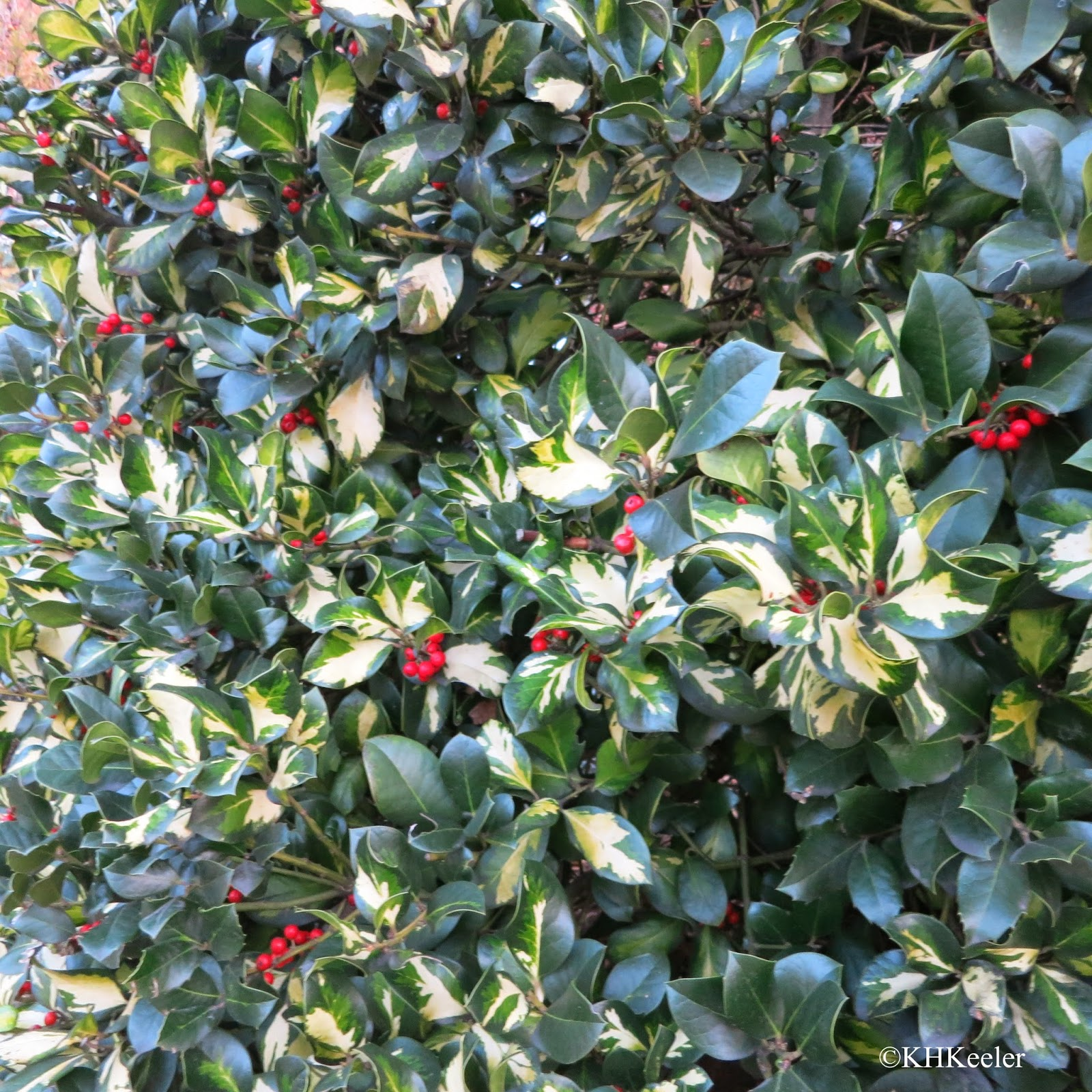 European holly, Ilex aquifolium
