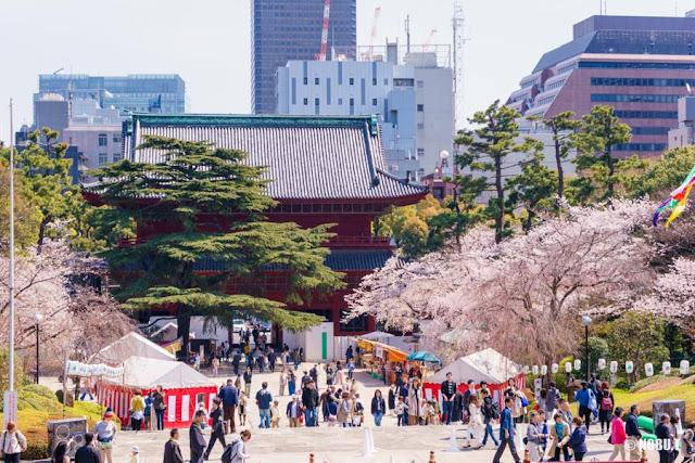 桜咲く増上寺(港区)