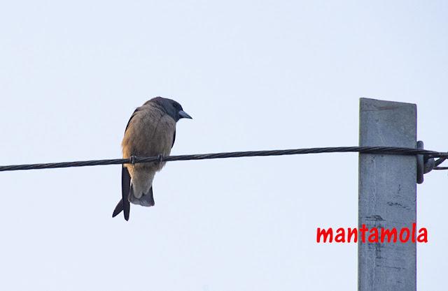 Ashy Wood-swallow