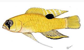 Lipogramma Flavescens - ikan Yellow basslet