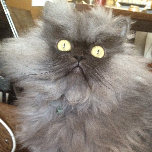 Colonel Meow Is The World S Angriest Cat 15 Pics