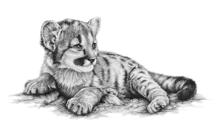 06-Mountain-Lion-Cub-Richard-Symonds-Wildlife-Fine-Art-Drawings-a-Painting-and-a-Video-www-designstack-co