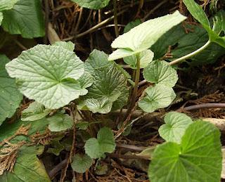¿Es posible cultivar una planta wasabi en casa?
