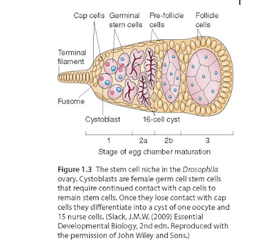 The stem cell niche in the Drosophila ovary. Cystoblasts are female germ cell stem cells that require continued contact with cap cells to remain stem cells. Once they lose contact with cap cells they differentiate into a cyst of one oocyte and 15 nurse cells.