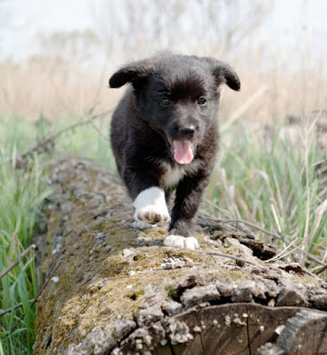 Puppies - like this cute pup walking along a log - must be socialized, and here's the research that first told us this