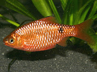 Barb Fish Pictures