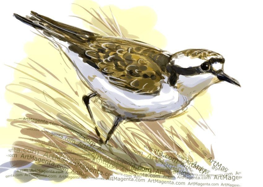 Saint Helena plover sketch painting. Bird art drawing by illustrator Artmagenta