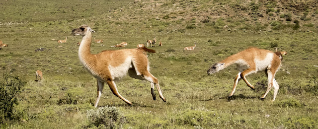 Two guanacos chasing each other in Torres del Paine National Park in Chile