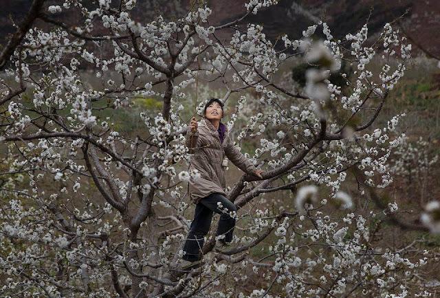 ręczne zapylanie gruszy Chiny pszczoły pestycydy