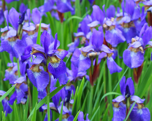 Purple Siberian Irises