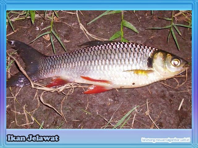gambar ikan jelawat