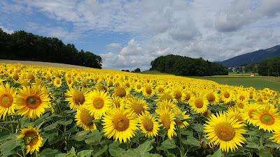 Sonnenblumenfeld bei Selzach