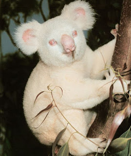 A época de reprodução dos coalas dura cerca de quatro meses. Neste período, os machos sexualmente maduros exploram o seu território, atraindo as fêmeas no cio, e enchem o local de marcas odoríferas, emitindo simultaneamente um som semelhante a um mugido. As fêmeas demonstram em geral grande agressividade com relação aos machos, os quais repelem violentamente. O acasalamento, que dura alguns segundos, dá-se em posição vertical sobre um galho de eucalipto.