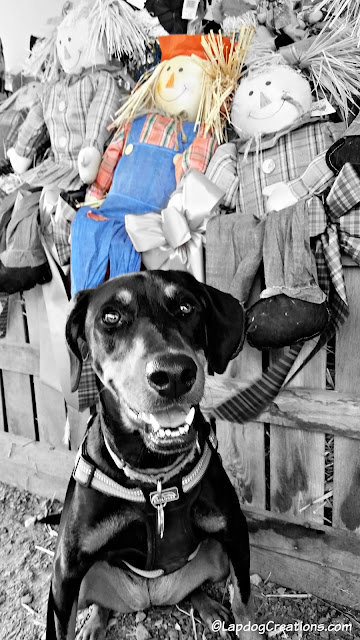 doberman mix puppy with scarecrows