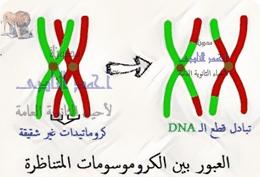 تصنيف الطفرات تبعاً لنوعها - ثانياً  الطفرات الصبغية - التغير فى تركيب الصبغيات - العبور الوراثى - الإنتقال - الإنقلاب -الثالث الثانوى