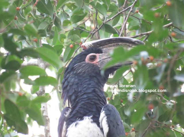 Trumpeter Hornbill (Bycanistes bucinator) in Bidadari