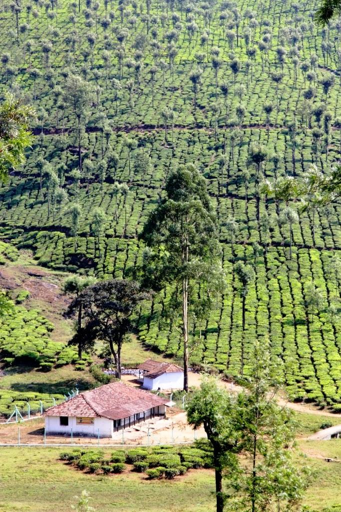 thé a perte de vue tamil nadu