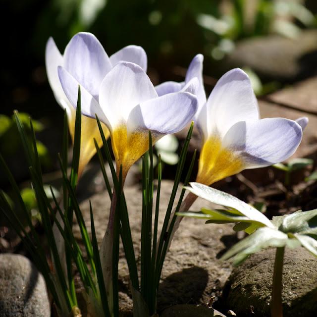 Blå botaniske krokus i haven i marts