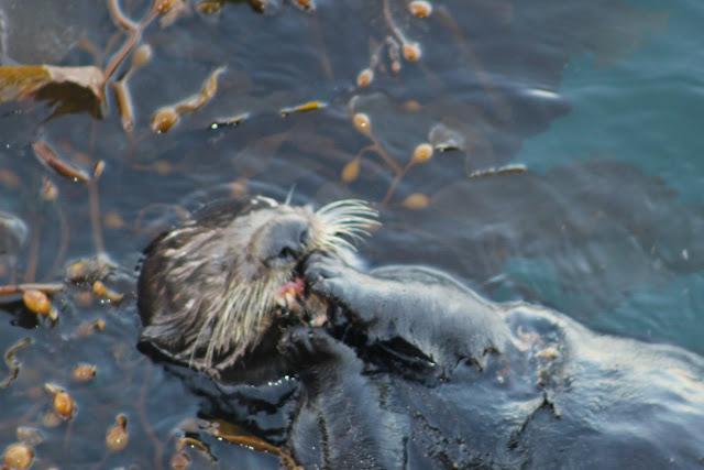 Monterey Sea Otter