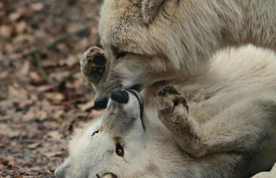 wolf kissing its cub - photo #7