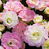 5 Top Primrose Picks for Midwest Gardens