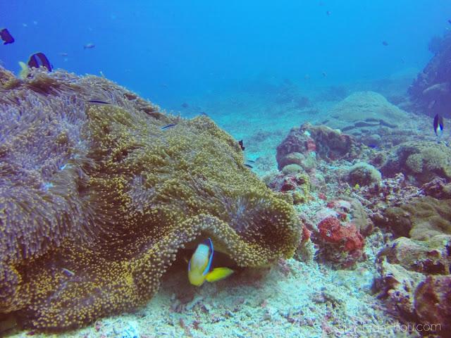 Clown fish and anemone in Nusa Penida - 1