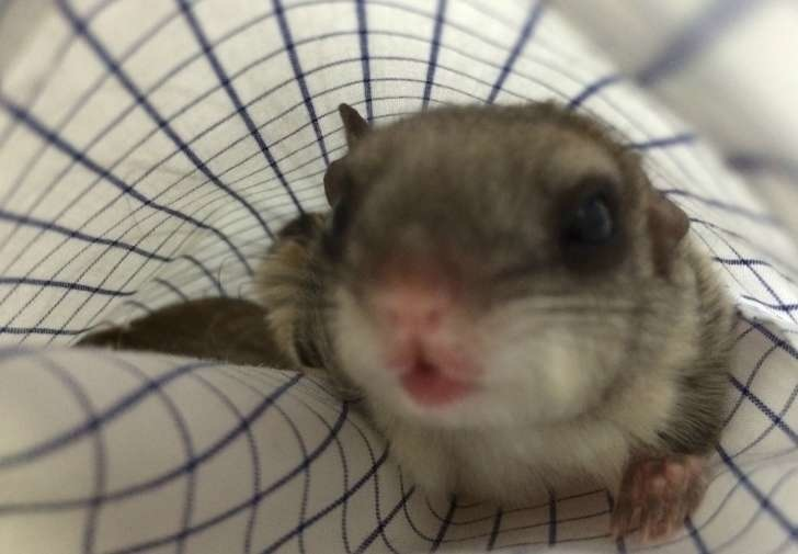 Flying squirrels are nocturnal animals who chirp like birds. - This Guy Saved A Tiny Animal, But Had No Idea What It Actually Was.
