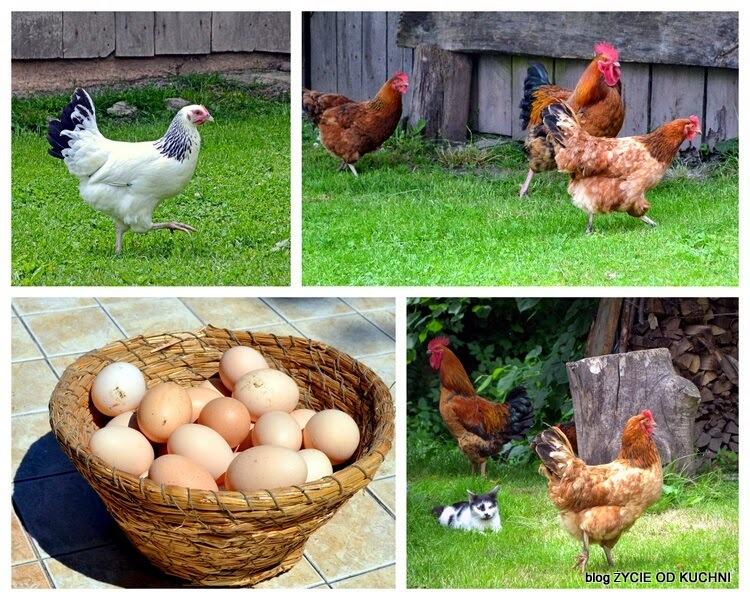 jajka od szczesliwyc kur, zdrowe jajka, omlet, wiejskie kury, zycie od kuchni