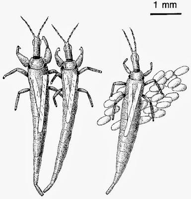 Variety of Life: Elaphrothrips