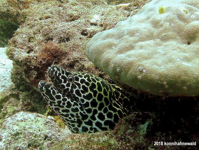 laced moray, sumatra, scuba diving