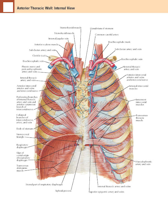Anterior Thoracic Wall Anatomy : Internal View     Sternothyroid muscle, Manubrium of sternum, Sternohyoid muscle Internal jugular vein, Anterior scalene muscle, Subclavian artery and vein, Clavicle (cut), Brachiocephalic vein, Phrenic nerve and, pericardiacophrenic artery and vein, Internal thoracic artery and vein, Anterior intercostal arteries and veins and intercostal nerve, Perforating branches of internal thoracic artery and vein and anterior cutaneous branch of intercostal nerve, Body of sternum, Respiratory diaphragm, Slips of costal origin of respiratory diaphragm, Transversus abdominis muscle, Sternal part of respiratory diaphragm, Xiphoid process, Sternocostal triangle, Common carotid artery, Brachiocephalic trunk, Subclavian artery and vein, Brachiocephalic vein, Internal thoracic artery and vein, Anterior intercostal arteries and veins and intercostal nerve Internal intercostal muscles, Innermost intercostal muscles, Transversus thoracis muscle, Musculophrenic artery and vein, Internal thoracic artery and veins, Superior epigastric artery and veins.