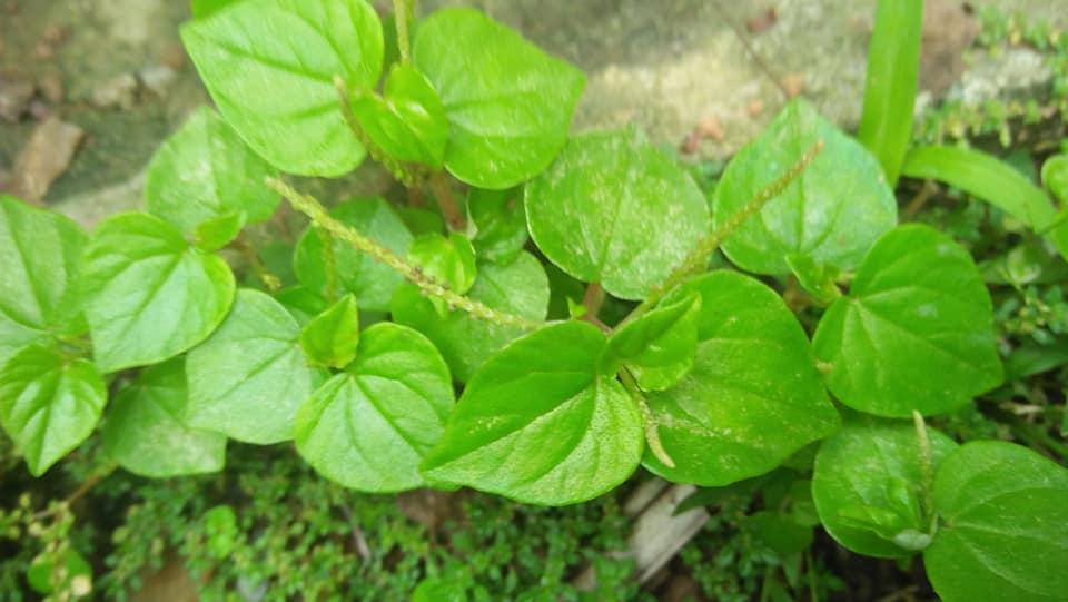 Sirih Cina bermanfaat untuk rheumatik, asam urat, obat pegel linu dan sakit pinggang, dikomsumsi dengan cara meminum air rebusan daunnya, atau bisa juga langsung mengunyah daunnya yang segar