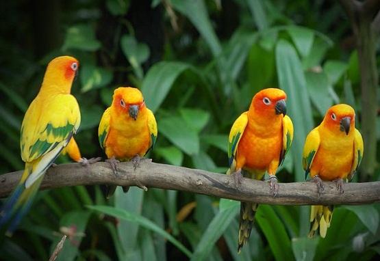 cara merawat lovebird agar ngekek panjang
